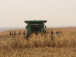 Combining a little down corn.